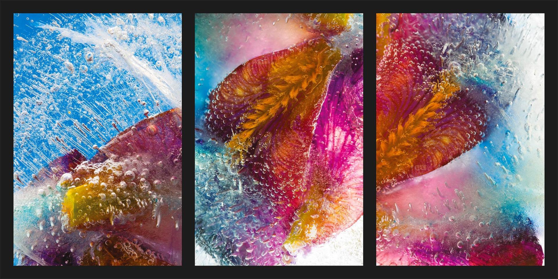 frozen-iris-germanica-02