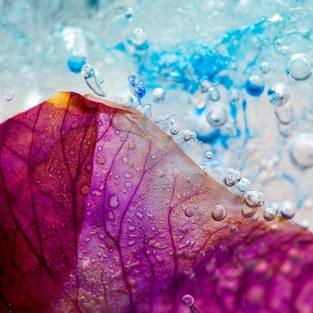 frozen-iris-germanica-02-details13