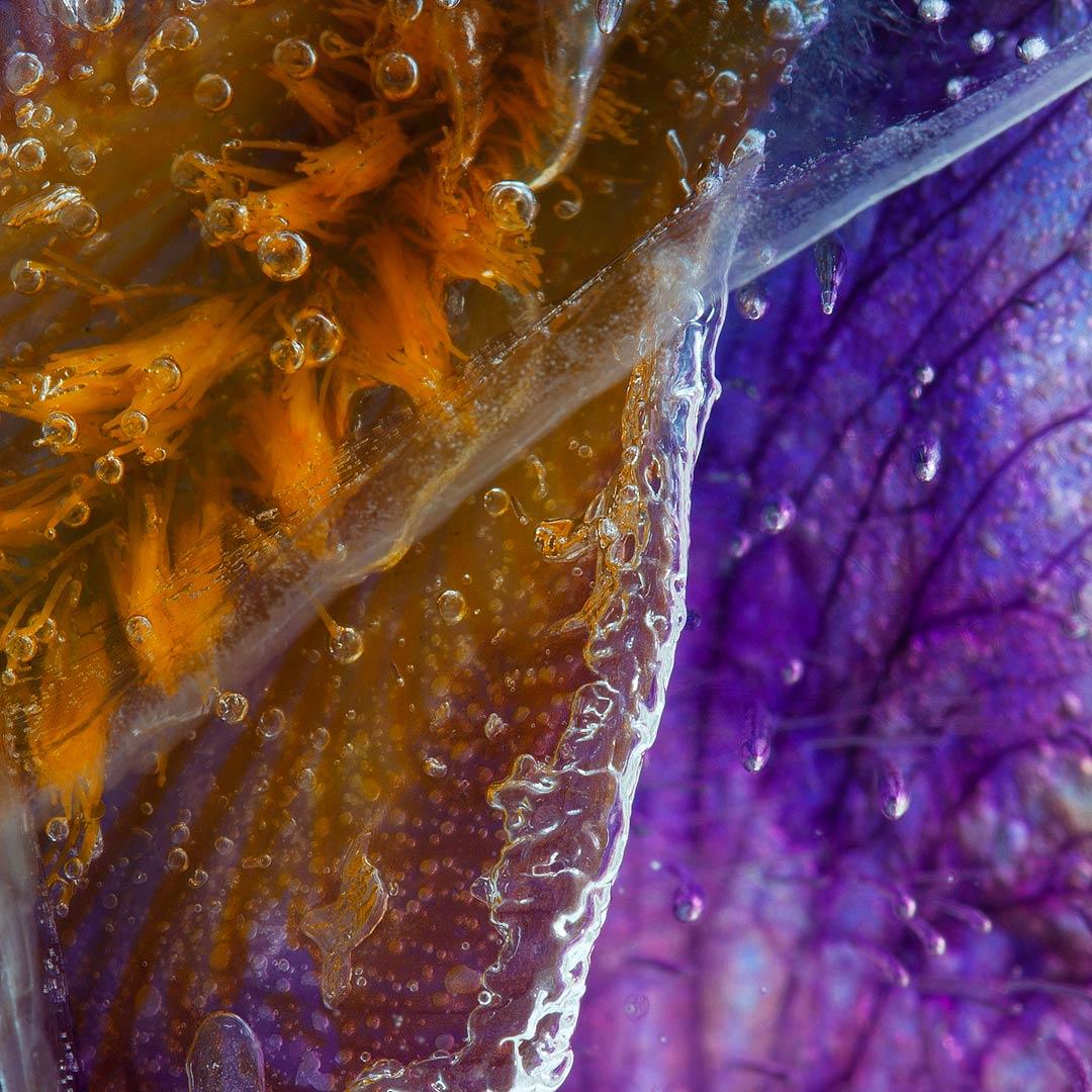 frozen-iris-germanica-02-details7